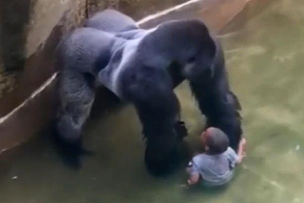 Harambe and Kid